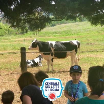 Vacche sul prato Centrale del Latte di Roma